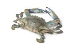 Single blue crab. On white background Royalty Free Stock Photo