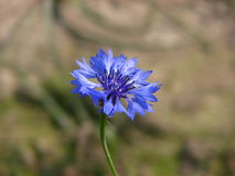 Single blue flower. Scenic view of a single blue flower blooming outdoors Stock Images