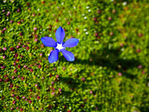 Single blue gentian flower on loss Stock Photography