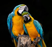 Single blue and gold macaw parrot Royalty Free Stock Photos