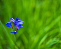 Single blue Iris flower on green Royalty Free Stock Images