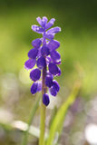 Single blue muscari hyacinth in the garden Stock Images