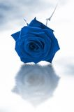 Single blue rose. Blue single rose on a white background royalty free stock photos