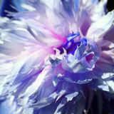 Single blue tinted peony. Macro shot of a flower petals Royalty Free Stock Photo