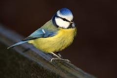 Single Blue Tit bird on a fence in spring season Stock Photo
