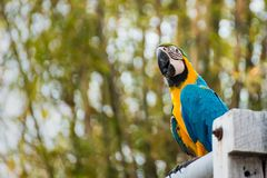 .Single Blue and Yellow Macaw in the Natural background.Thailand. Single Blue and Yellow Macaw in the Natural background.Thailand stock image
