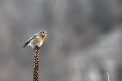 A single bluebird perched on a seed spike stock photos