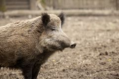 Single boar feral pig in organic respectful petting farm stock photo