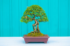 Single bonzai plant Royalty Free Stock Photography