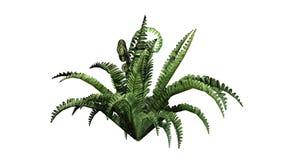 Single boston fern plant. Without shadow - isolated on white background Royalty Free Stock Photo