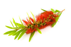 Single Bottlebrush Bloom Stock Image