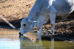 Single Brahma Cow. Brahma cow getting a drink of water Royalty Free Stock Images