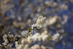 Single branch Almond bloom Royalty Free Stock Images