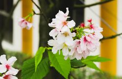 Single Branch Blossom pink sakura in the Tianyuan Temple,Taiwan Royalty Free Stock Photo