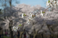 Single Branch on a Cherry Blossom Tree Royalty Free Stock Image