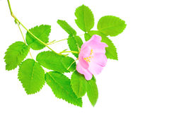 Single branch of dog-rose Stock Photography