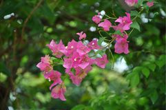 Single branch of pink blooming bougainvillea on the blurred green background