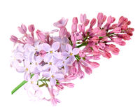 Single branch of purple lilac Royalty Free Stock Photography