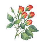 A single branch of red-orange mini roses with green leaves and bud. Royalty Free Stock Photo