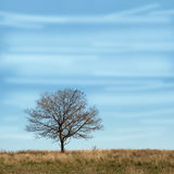 Single branchy tree without leaves in dry field under blue sky. Single branchy tree without leaves in dry field under cloudy blue sky. Square autumn landscape stock photo