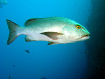 Single Bream Stock Photo