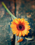 Single yellow gerbera daisy Royalty Free Stock Images