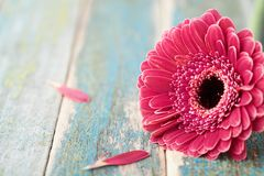 Single bright gerbera daisy flower closeup on vintage wooden background. Greeting card on mother or womans day. Stock Images