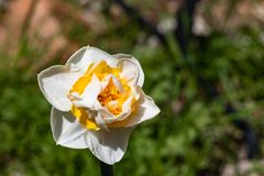 Single bright, happy, cheerful, yellow gold, white double petals spring Easter daffodil bulb blooming in outside garden in. Springtime, natural beauty flower stock photo