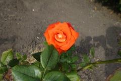 Single bright orange flower of rose. Single bright orange flower of garden rose stock photo