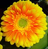 Single Bright orange Gerbera Daisy Royalty Free Stock Photos