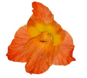 Single bright orange gladiolus flower isolated on white Royalty Free Stock Photo