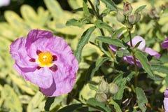 Single Pink Cistus Purpureus Flowers - Orchid Rockrose Royalty Free Stock Photography