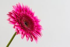 Single pink gerbera daisy on a white background royalty free stock image