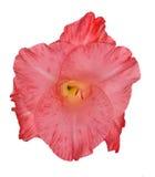 Single bright pink gladiolus flower isolated on white Stock Photos