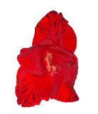 Single bright red gladiolus flower isolated on white Royalty Free Stock Images