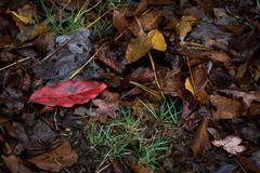 Single bright red leaf in wet leaf litter over tufts of grass. Horizontal aspect Royalty Free Stock Photos