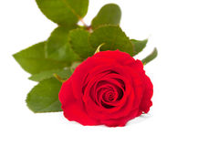 Single Bright Red Rose Royalty Free Stock Photos