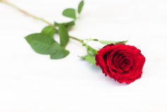 Single bright red rose Royalty Free Stock Photography