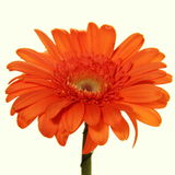 Single Bright Vibrant Gerbera Royalty Free Stock Image