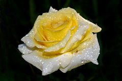 Yellow rose in dew drops close up on dark background stock photo