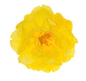 Single bright yellow rose flower on white Royalty Free Stock Photos