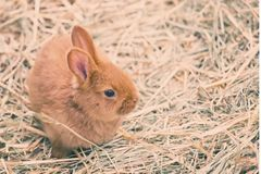 Little brown bunny Royalty Free Stock Photo