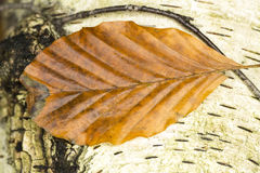 Single brown beech leaf Royalty Free Stock Images