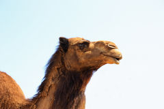 Single brown camel head shot Royalty Free Stock Photo