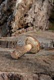 Single brown cap boletus mushroom Boletus badius on natural wo Royalty Free Stock Photos