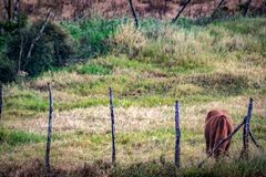 Single brown cow busy grazing royalty free stock photos