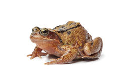 Single brown frog Royalty Free Stock Photos