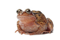 Single brown frog. On white background Stock Photos