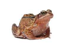 Single brown frog. On white background Royalty Free Stock Photos
