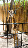 Single of Brown Giraffe in the zoo Royalty Free Stock Photography